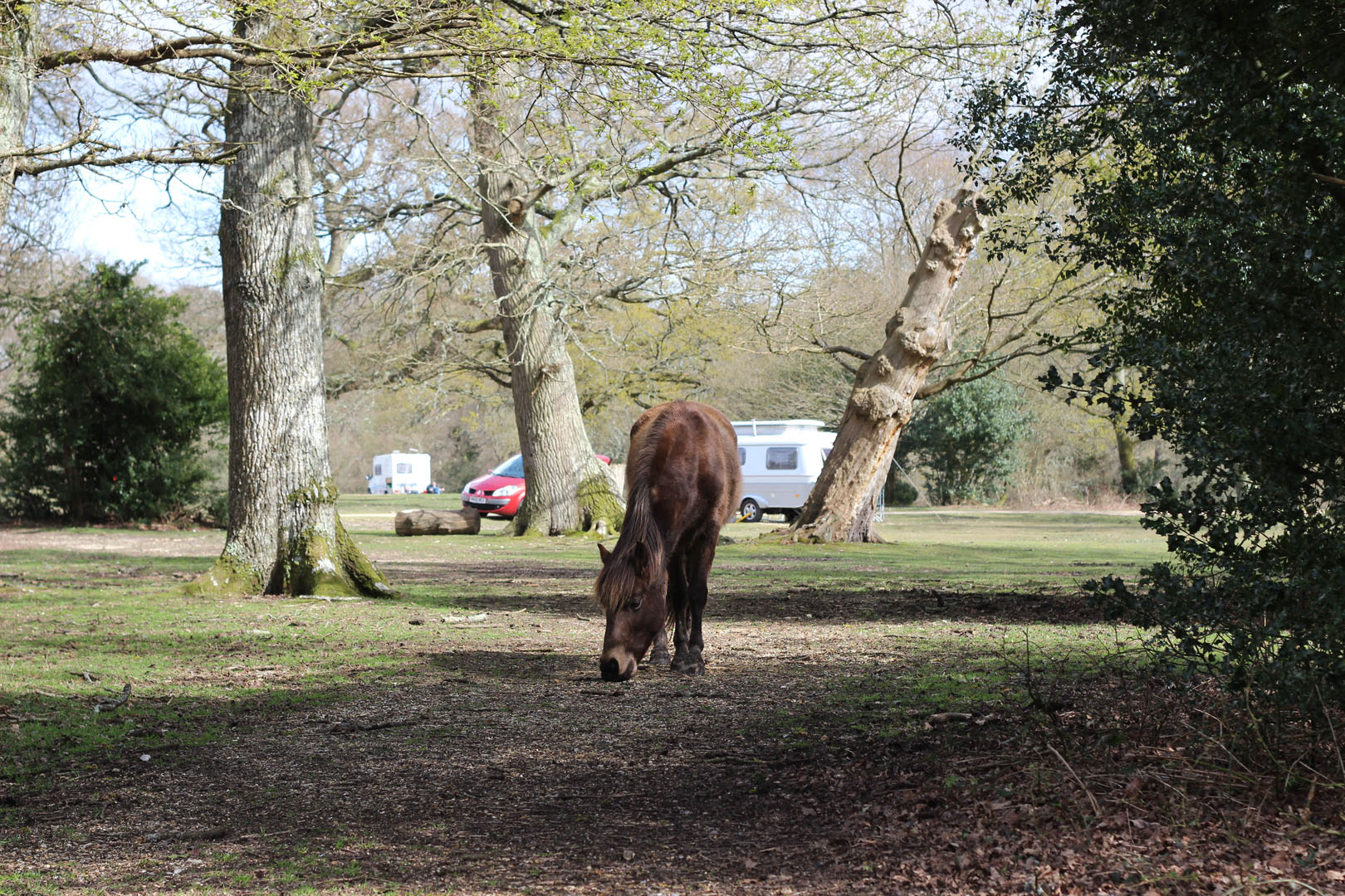 new-forest-pony-ashurst-campsite